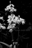 White Bluebells in monochrome