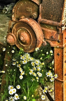 Daisies and rusty machinery