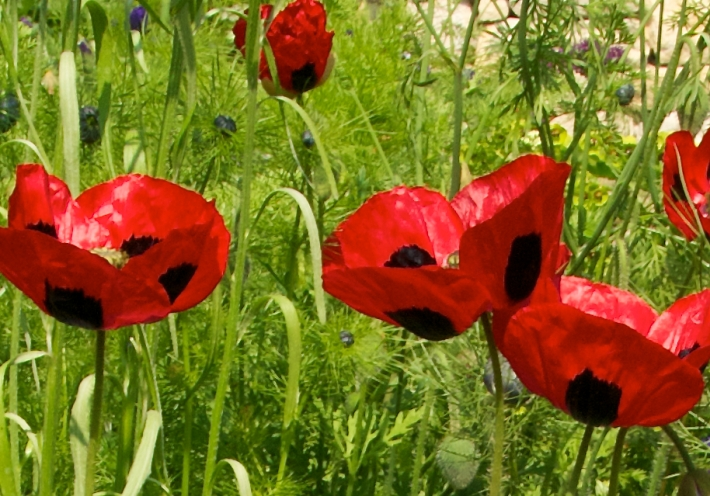 Poppies Black and Red