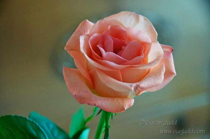 Peachy rose