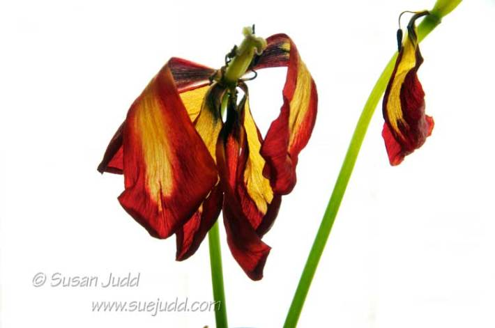 Decaying tulips...