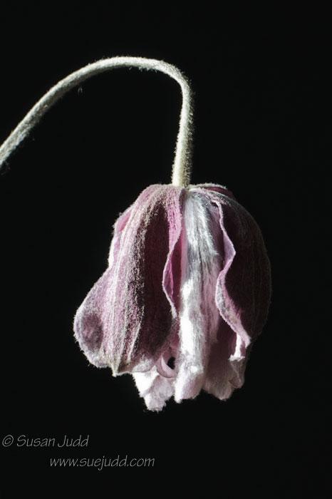 Slimmed down anemone