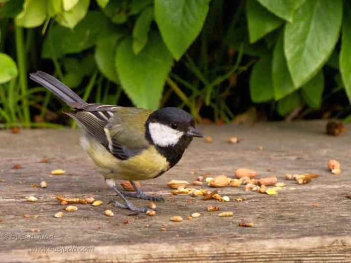 Great tit choosing