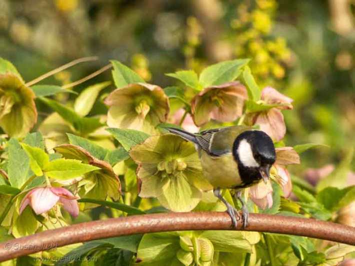 Great tit munching