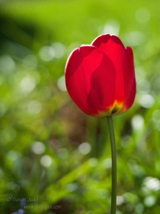 Sentinel tulip
