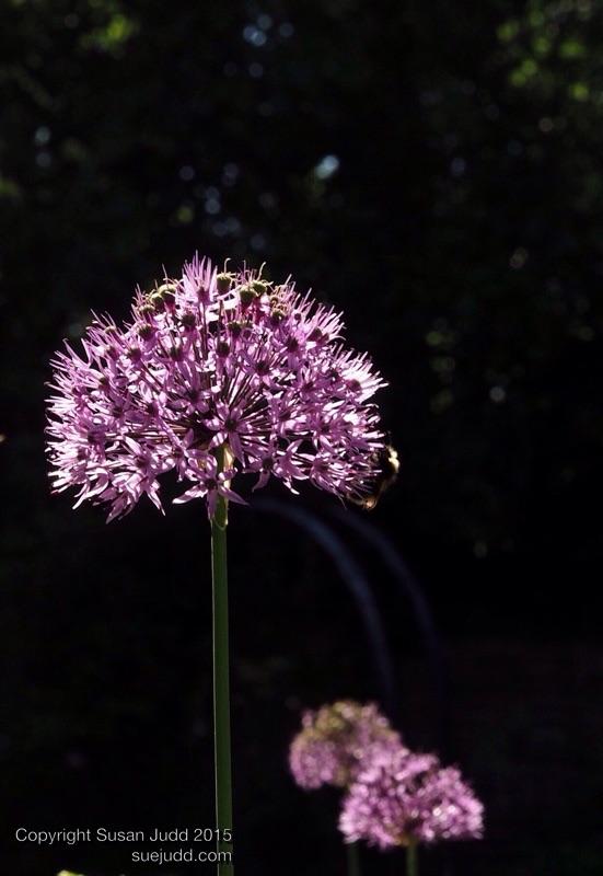 Allium contre jour