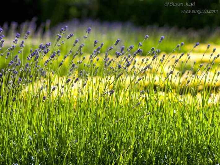 Lavender swaying