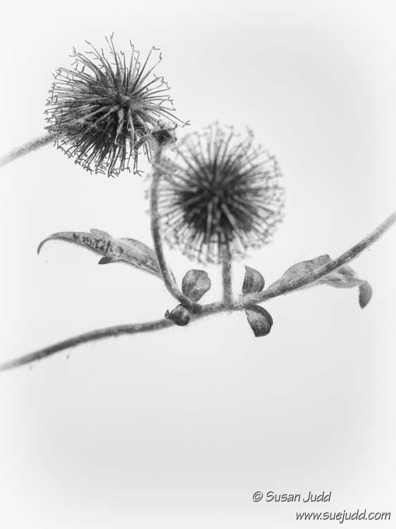High key seed heads