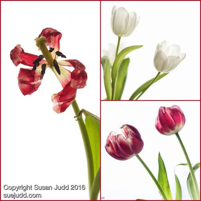 SJudd_Plants_tulipCollage_26032016