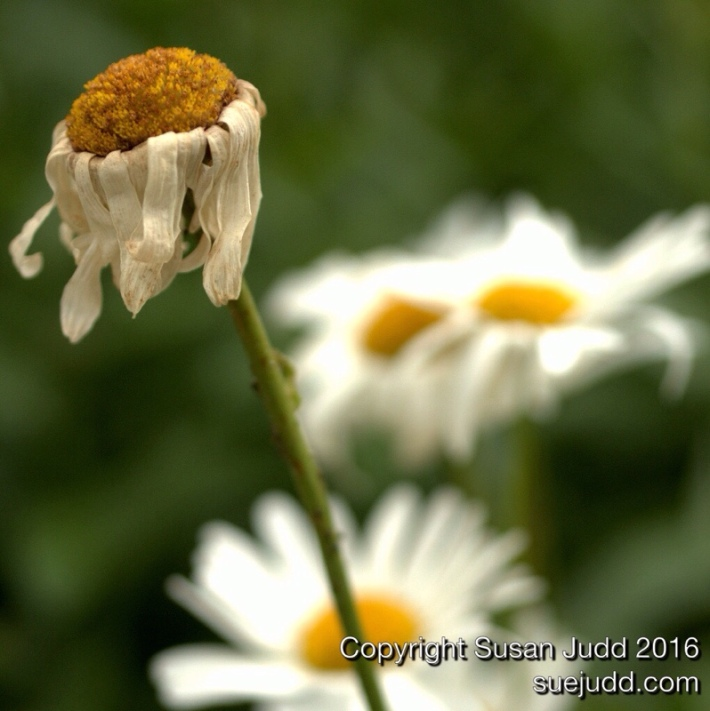 Decaying daisy