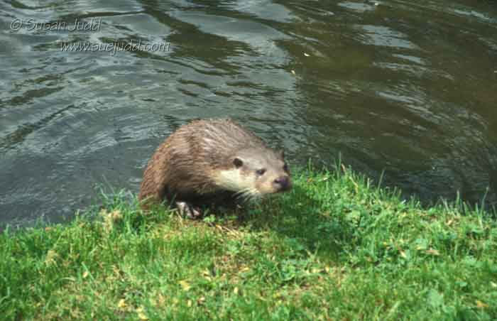 sjudd_nature_otter_001-version-2